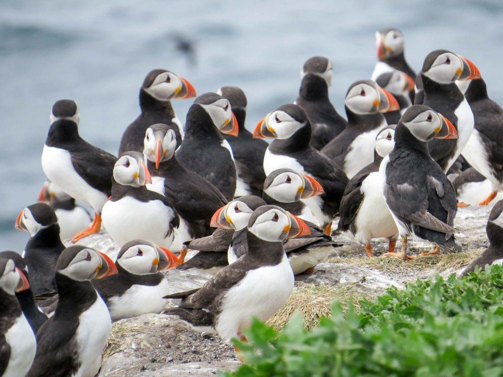 Bando de Frailecillos Atlánticos en acantilado en Escocia