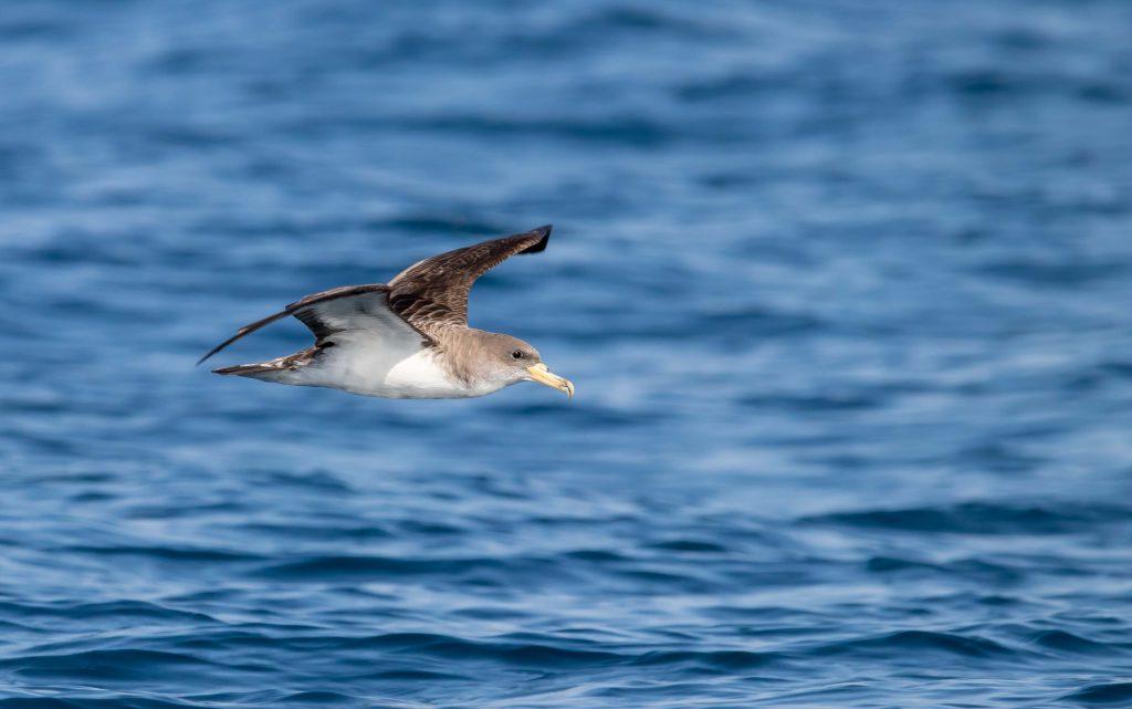 Pardela cenicienta en vuelo sobre el mar