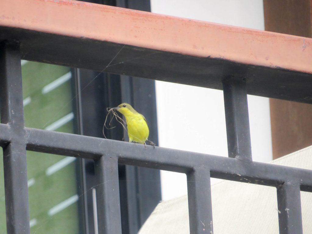 Suimanga ventrioliva con material para el nido que construia en la puerta hotel Chiang Mai, Tailandia