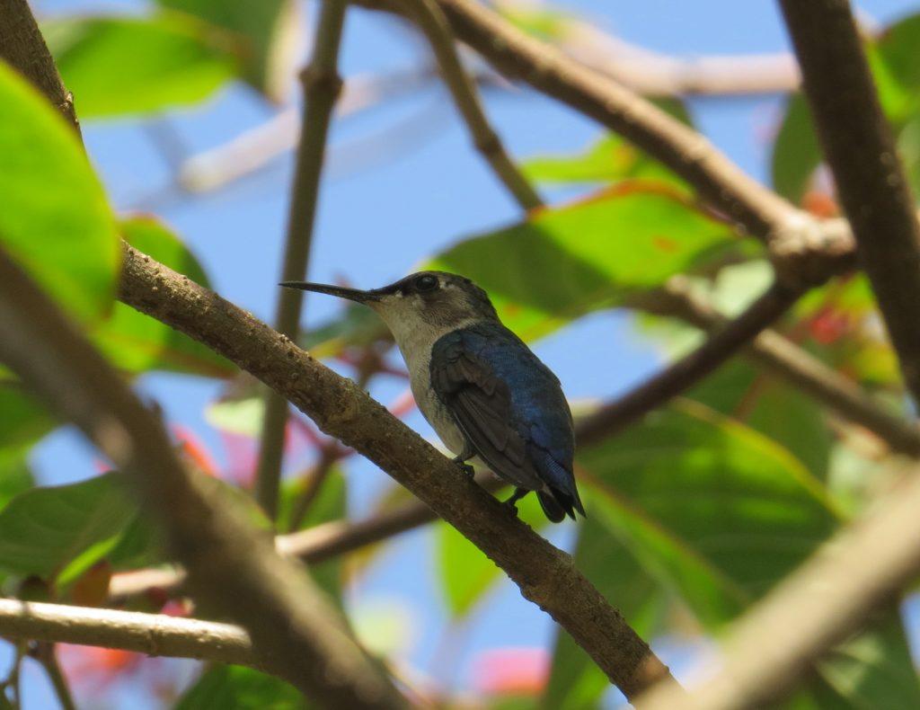Zunzuncito, el ave más pequeña del mundo