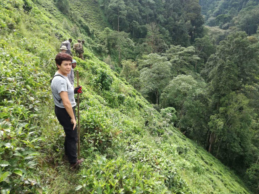 Limite de los cultivos de té y la selva del Parque Nacional. Bajamos esa pendiente para luego subirla en la ladera de enfrente