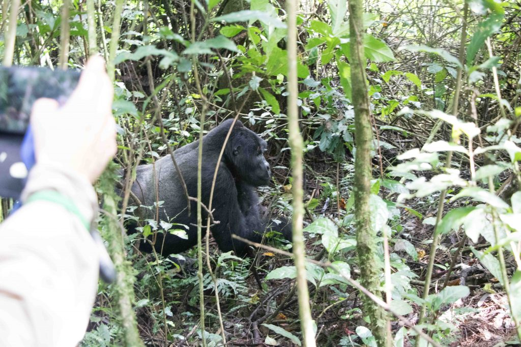 El macho espalda plateada pasando a menos de los 7 metros de distancia de seguridad recomendada