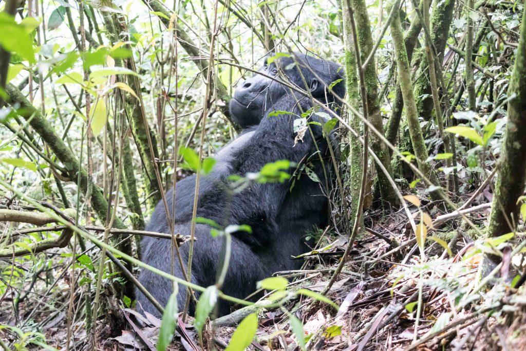 Macho espalda plateada de Gorila de Montaña