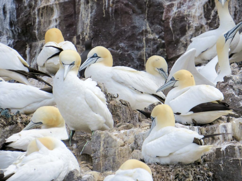 Alcatraces atlánticos en la colonia de Bass Rock