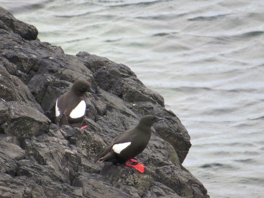 Araos aliblancos en la Isla de Staffa
