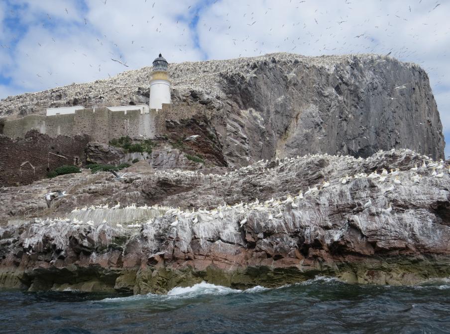 Colonia de alcatraz atlántico en Bass Rock
