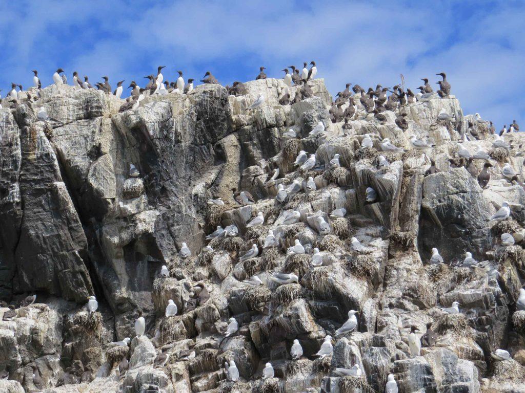 Colonia de aves marinas mixta de gaviotas y alcidos en los acantilados de las Farne Islands