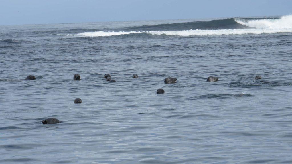 Focas en Farne Island