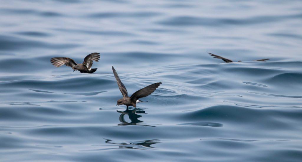 Paiños, el ave marina más pequeña, alimentandose sobre el agua