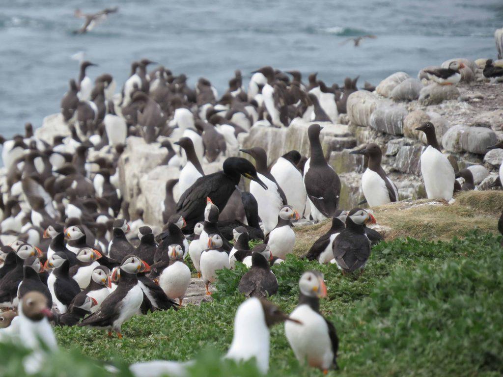 Colonias de aves marinas en Inner Farne