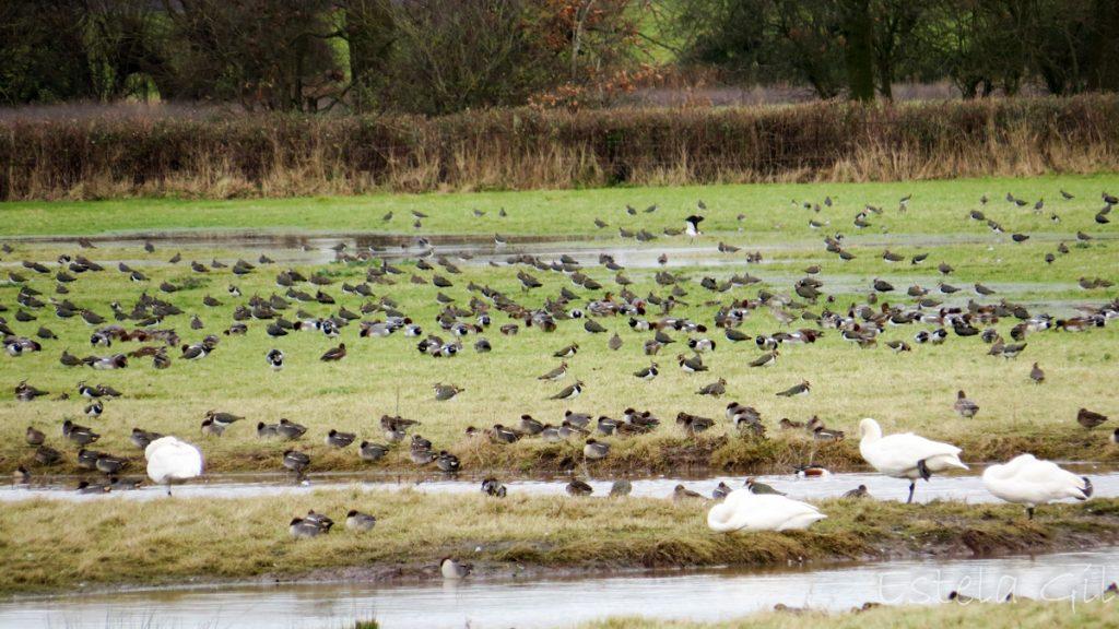 aves en invierno en reserva WWT Slimbridge en el estuario del rio Severn de Inglaterra