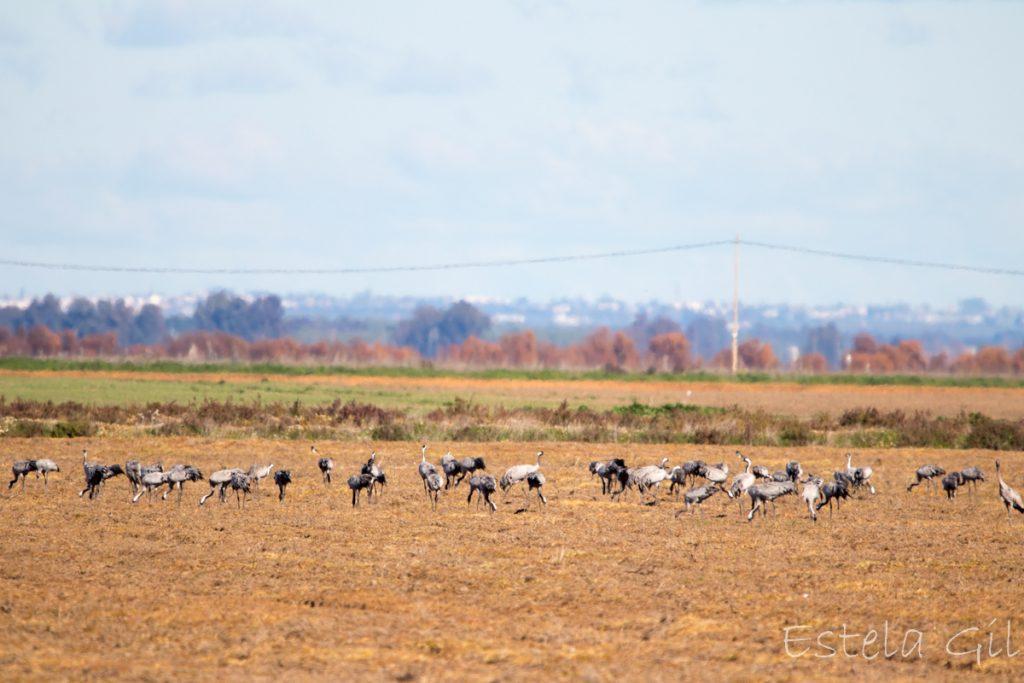 Aves en invierno en Doñana (grullas)