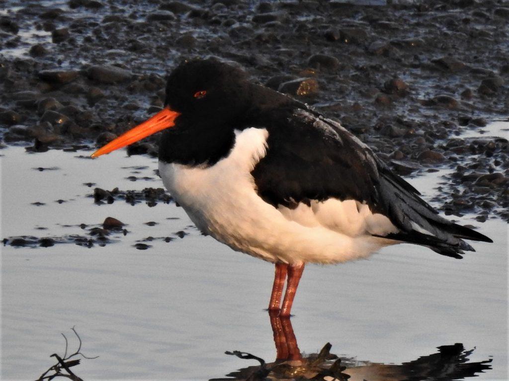 ostrero escarchado, ver aves en invierno