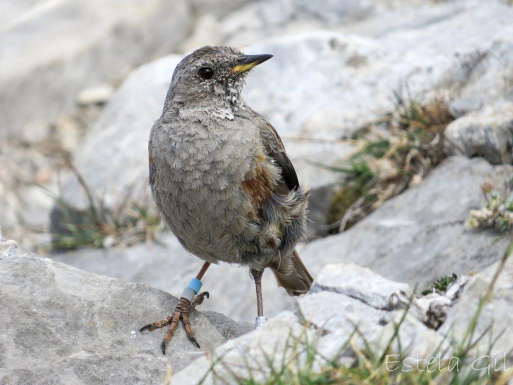 Acentor alpino, ver aves en invierno