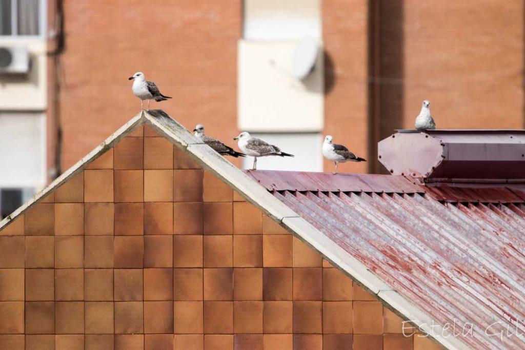 Ver aves desde casa, gaviotas