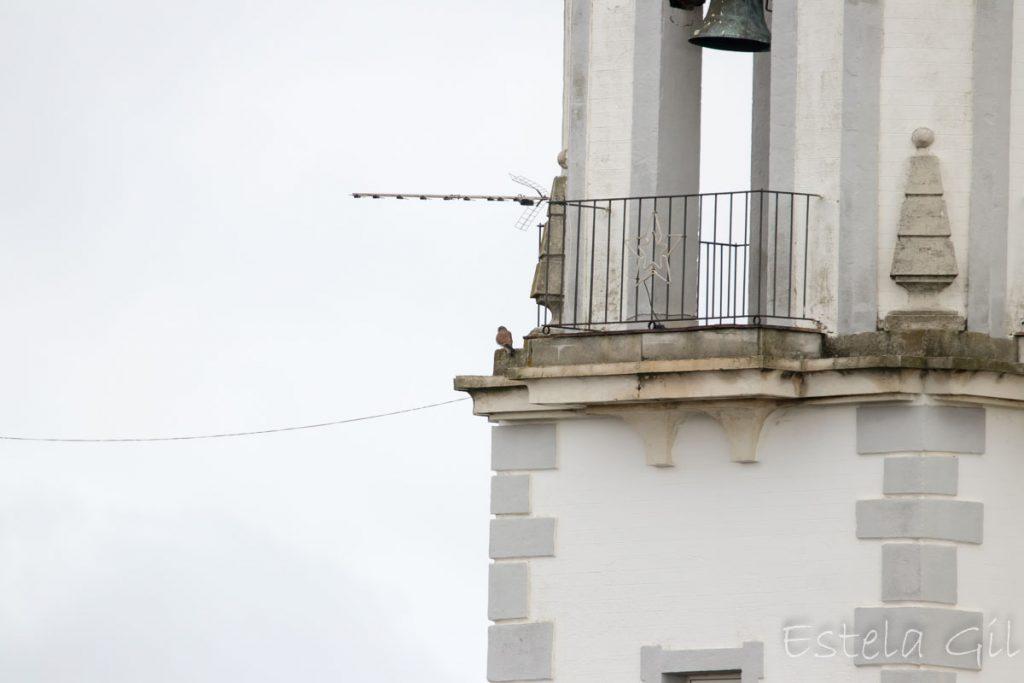 Ver aves desde casa, cernicalo vulgar