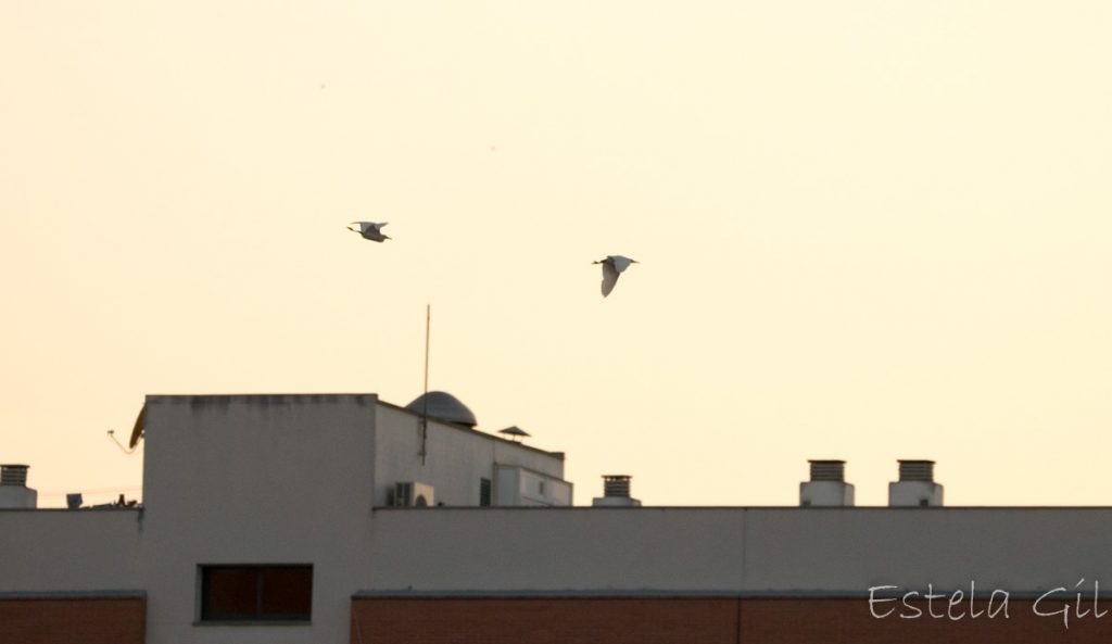 Ver aves desde casa, garcillas