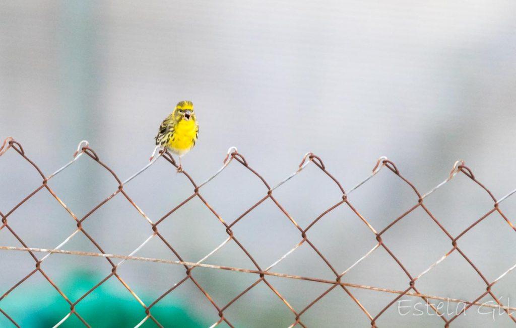 Ver aves desde casa, verdecillo