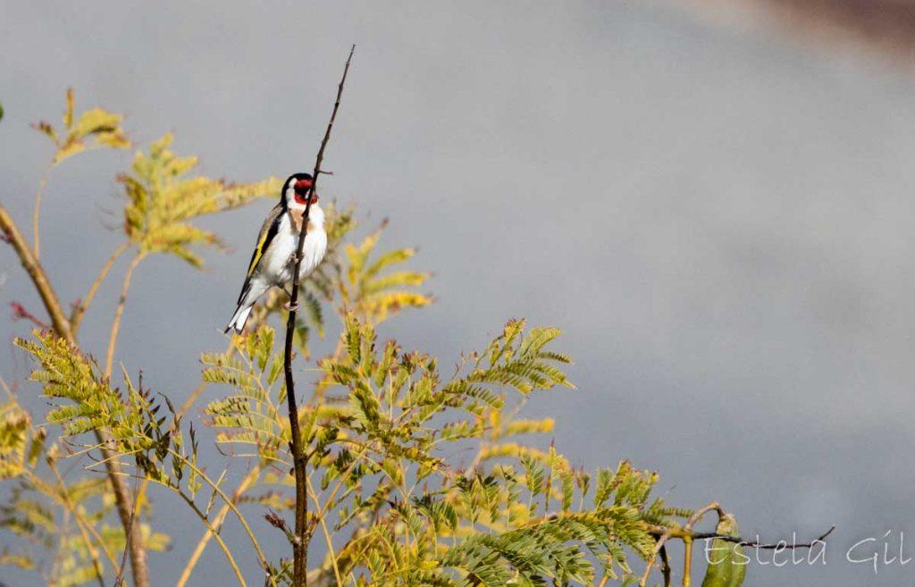 Ver aves desde casa, jilguero