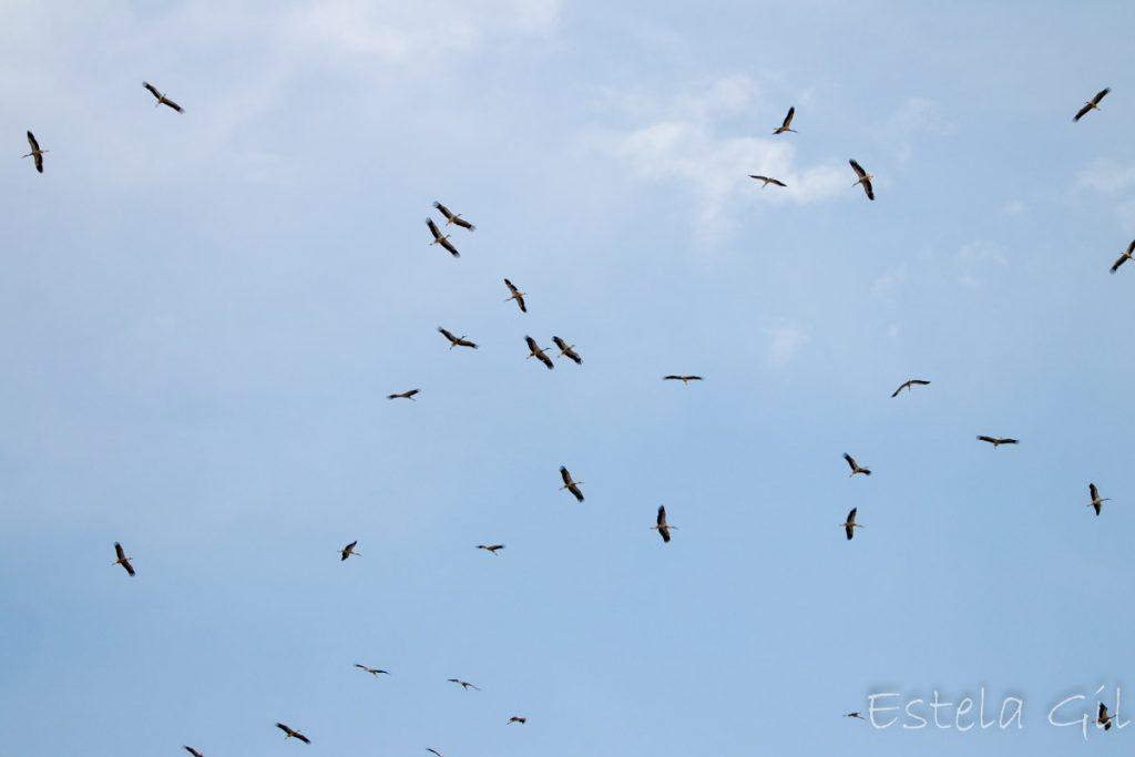 Ver aves desde casa, Cigüeña blanca